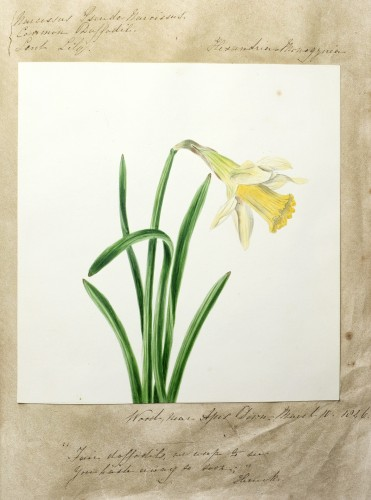 Common Daffodil by Emma Dennett